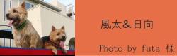 風太&日向|ビヨルキス ハーフチョークカラー BJORKIS|HAU ビヨルキス、北欧犬グッズ通販