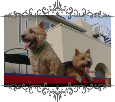 風太&日向1|ビヨルキス ハーフチョークカラー BJORKIS|HAU ビヨルキス、北欧犬グッズ通販