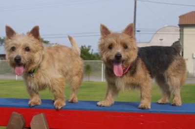 風太&日向2|ビヨルキス ハーフチョークカラー BJORKIS|HAU ビヨルキス、北欧犬グッズ通販