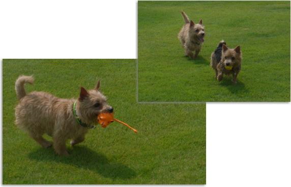 風太&日向3|ビヨルキス ハーフチョークカラー BJORKIS|HAU ビヨルキス、北欧犬グッズ通販