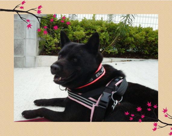 れお1|ビヨルキス ロゴハーフチョークカラー BJORKIS|HAU ビヨルキス、北欧犬グッズ通販