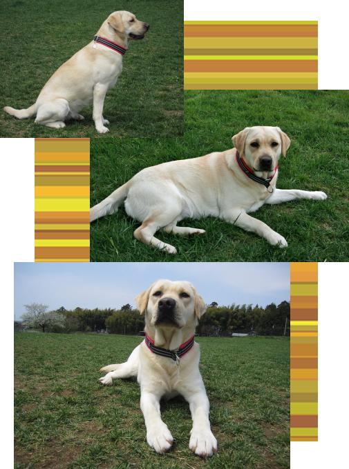 ブルーナ2|ビヨルキス ハーフチョークカラー BJORKIS|HAU ビヨルキス、北欧犬グッズ通販