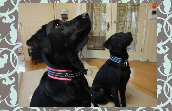 はな&たろ1|ビヨルキス ハーフチョークカラー BJORKIS|HAU ビヨルキス、北欧犬グッズ通販