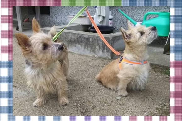 レオとテン 1|トレポンティハーネス、ファイヤードッグ ラバーグリップリーシュ| 犬グッズ通販HAU
