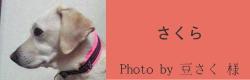 さくら|ビヨルキス ハーフチョークカラー BJORKIS|HAU ビヨルキス、北欧犬グッズ通販