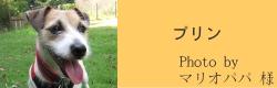 プリン|ビヨルキス ハーフチョークカラー BJORKIS|HAU ビヨルキス、北欧犬グッズ通販
