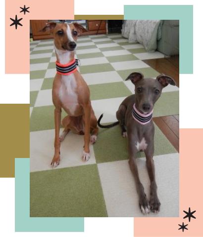 かれん&シオン1|ビヨルキス ハーフチョークカラー BJORKIS|HAU ビヨルキス、北欧犬グッズ通販