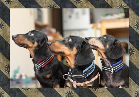 ジン&ナギ&バジル1|ビヨルキス ハーフチョークカラー BJORKIS|HAU ビヨルキス、北欧犬グッズ通販