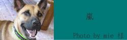 嵐|ビヨルキス ロゴハーフチョークカラー BJORKIS|犬グッズ通販HAU