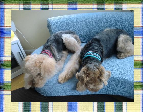 エル&ハリー2|ビヨルキス ロゴハーフチョークカラー BJORKIS|HAU ビヨルキス、北欧犬グッズ通販