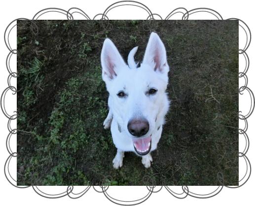 ハヤン1|HAU ビヨルキス、北欧犬グッズ通販