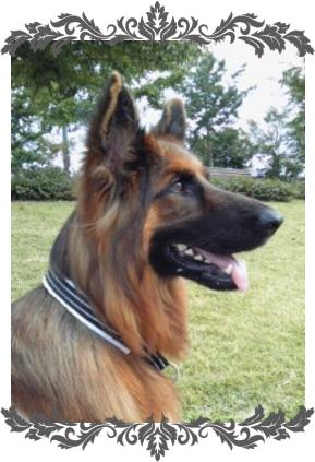 陸1|ビヨルキス ハーフチョークカラー BJORKIS|HAU ビヨルキス、北欧犬グッズ通販
