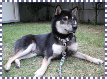 小鉄1|ビヨルキス ハーフチョークカラー BJORKIS|HAU ビヨルキス、北欧犬グッズ通販