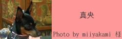 真央|ビヨルキス ハーフチョークカラー BJORKIS|HAU ビヨルキス、北欧犬グッズ通販
