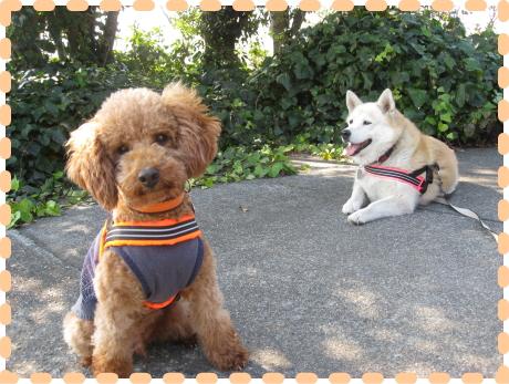 ピッピ&ミッシェル2|ビヨルキス ハーネス BJORKIS|HAU ビヨルキス、北欧犬グッズ通販