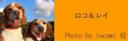 ロコ&レイ|ビヨルキス ハーフチョークカラー BJORKIS|HAU ビヨルキス、北欧犬グッズ通販