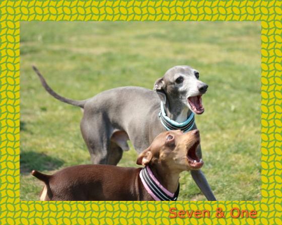 seven&one1|ビヨルキス ハーフチョークカラー BJORKIS|HAU ビヨルキス、北欧犬グッズ通販
