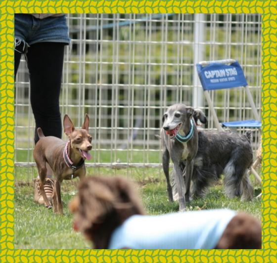 seven&one2|ビヨルキス ハーフチョークカラー BJORKIS|HAU ビヨルキス、北欧犬グッズ通販