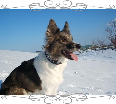ジル1|ビヨルキス ハーフチョークカラー BJORKIS|HAU ビヨルキス、北欧犬グッズ通販