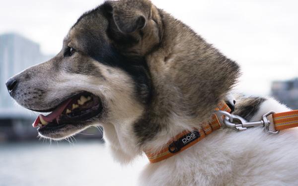 普段使いにおすすめのエブリデイドッグカラー|ドッグコペンハーゲン アーバンスタイルカラー|犬グッズ通販HAU