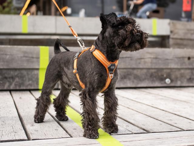 スタイリッシュな北欧デンマーク犬用品|ドッグコペンハーゲン コンフォートウォークエアハーネス|犬グッズ通販HAU