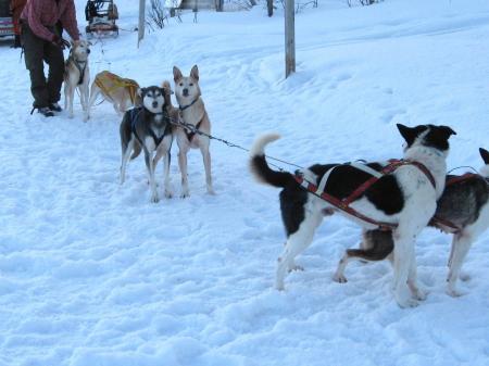 犬ぞり準備中1|犬グッズ通販HAU 北欧旅行記