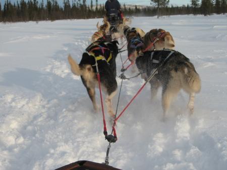 走るそり犬1|犬グッズ通販HAU 北欧旅行記