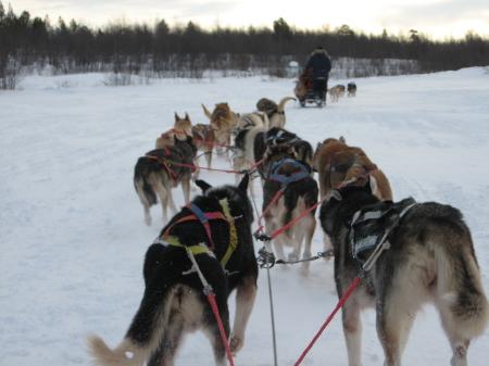走るそり犬4|犬グッズ通販HAU 北欧旅行記