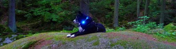 犬の交通安全ライト、夜のお散歩に|LEDドッグカラー光る首輪 LEUCHTIE Mini(小型犬用ライト)|犬グッズ通販HAU
