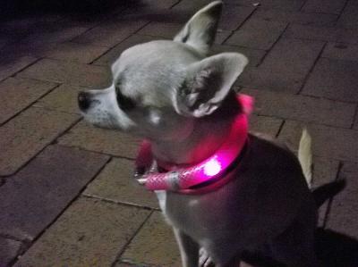 夜のお散歩におすすめ!|犬のライトLEUCHTIEとは? 小型犬用|犬グッズ通販HAU