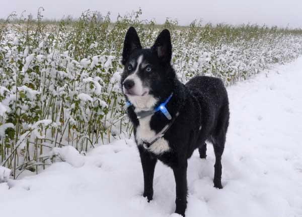 長毛、ロングヘアーの犬種におすすめの犬のライトグッズ用パーツ|お散歩用交通安全グッズルミナスコーン|犬グッズ通販HAU