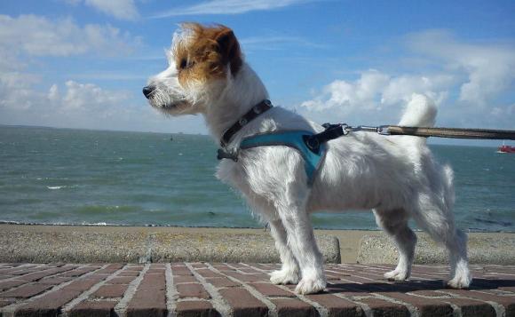 トレポンティ(Tre Ponti) フィッビア fibbia 着用例|ミニチュアダックス、チワワ、トイプードルなどの小型、超小型犬用ハーネス
