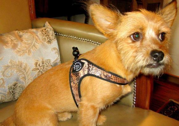 超小型犬、猫、小型犬用ハーネス|Liberta-Python Tre Ponti トレ・ポンティ|犬グッズ通販HAU