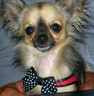 超小型犬、猫、小型犬用ハーネス|Polkadot Bow Tre Ponti トレ・ポンティ|犬グッズ通販HAU