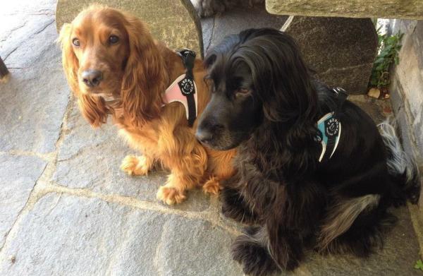 小型犬におすすめのハーネス|Fibbia アジャスタブルタイプ Tre Ponti トレ・ポンティ|犬グッズ通販HAU
