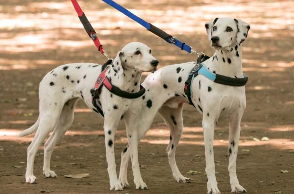 PrimoとBrioの違い|中型犬・大型犬用ハーネス Brio ブリオ Tre Ponti トレ・ポンティ|犬グッズ通販HAU